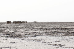Camels caravan carrying salt in Africa`s Danakil Desert, Ethiopia Royalty Free Stock Photo