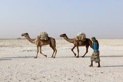 Camels caravan carrying salt in Africa`s Danakil Desert, Ethiopia Royalty Free Stock Images