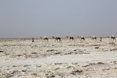 Camels caravan carrying salt in Africa`s Danakil Desert, Ethiopia Royalty Free Stock Images
