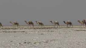 Camels caravan carrying salt in Africa`s Danakil Desert, Ethiopia. Camels caravan carrying salt in Africa`s Danakil Desert stock video footage