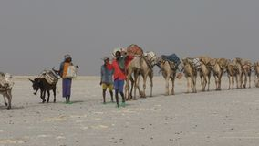 Camels caravan carrying salt in Africa`s Danakil Desert, Ethiopia. Camels caravan carrying salt in Africa`s Danakil Desert, Dallol, Ethiopia stock footage