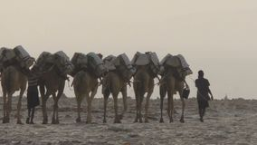 Camels caravan carrying salt in Africa`s Danakil Desert, Ethiopia. Camels caravan carrying salt in Africa`s Danakil Desert, Dallol, Ethiopia stock video footage