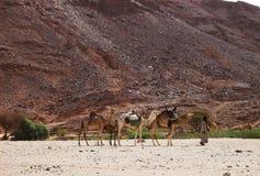 Camels .caravane -desert sahara .algeria Royalty Free Stock Image