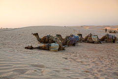 Camels caravan in the Sahara desert. Royalty Free Stock Photography