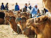 Camels caravan in Sahara Royalty Free Stock Images