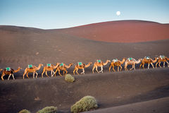 Camels caravan walking on Lanzarote island Royalty Free Stock Photography