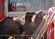 Camels in the circus corral Stock Image