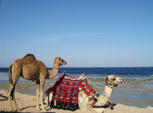 Camels on a coastline Royalty Free Stock Image