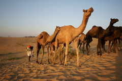 Camels Crossing the Desert Stock Photography