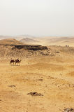 Camels crossing the desert in Giza. Two camels crossing the desert in Giza Stock Image