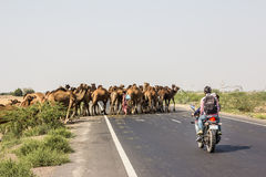 Camels crossing the highway Stock Photo