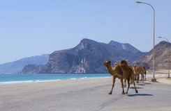 Camels Royalty Free Stock Photo