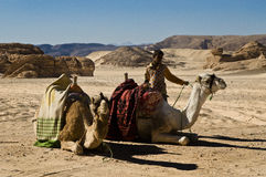 Camels at the Dahab Desert. In Egypt Stock Photos