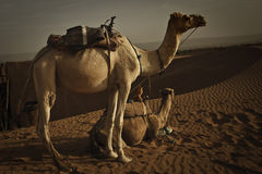 Camels at dawn in Sahara desert. Stock Images