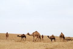 Camels in desert. Dromedary camel herd in the desert Negev, Israel Royalty Free Stock Photo