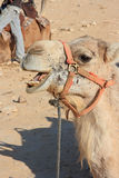 Camels in the desert Royalty Free Stock Images