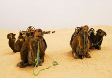 Camels on desert Stock Photos