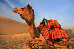 Camels on desert Royalty Free Stock Photography
