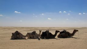 Camels in the desert Stock Photos