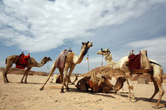 Camels in the desert. Camels in the Sinai Desert, Egypt royalty free stock photos