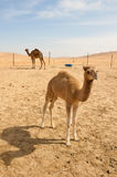 Camels in the desert. In the morning sun Stock Photos