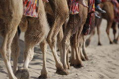 Camels in desert. Royalty Free Stock Photos