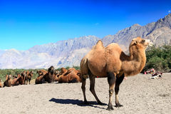 Camels on the Desert Royalty Free Stock Photos