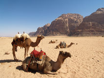 Camels on the Desert Stock Image