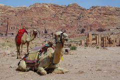 Camels in desert. Ready for trip Stock Photos