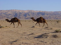 Camels in desert Royalty Free Stock Photos