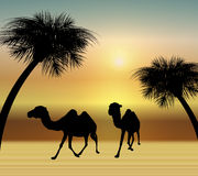 Camels in the Desert. Illustration of two camels walking at sunset in desert Stock Images