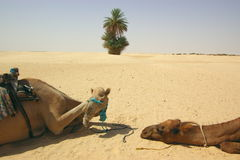 Camels in desert Royalty Free Stock Photography