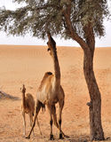 Camels in desert. Arabian camel eating leaves of a Ghaff tree, her calf looking upwards in awe Stock Photography