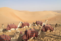 Waiting Camels. Camels in desert of Abu Dhabi, U.A.E royalty free stock image