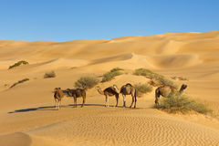 Camels in the Desert - Awbari Sand Sea, Sahara Stock Photography