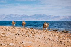 Camels on beach coast Sinai, Egypt, Africa Stock Photos