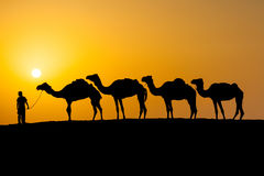 Camels in a desert Royalty Free Stock Photo