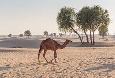 Camels in the desert. Of Dubai royalty free stock photo