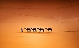 Camels in the Desert. Camels caravan in the Sahara Desert Morocco
