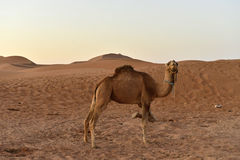 Camels in desert Royalty Free Stock Image