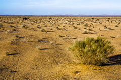 Camels in the desert, dry bush royalty free stock photo