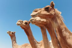 Camels in the desert. Dubai stock photo