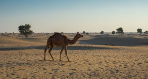 Camels in the desert Royalty Free Stock Image