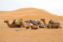 Camels and desert dunes Royalty Free Stock Image