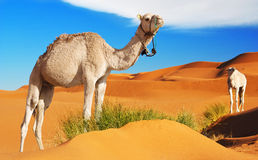 Camels in the desert. Camels eating the grass in the Sahara desert, Morocco Royalty Free Stock Photo