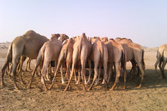 Camels in the desert Stock Photo