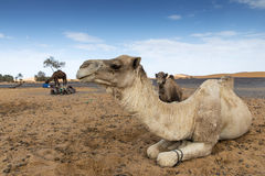 Camels in the desert. A few camels resting in the desert after a trekking with tourists Stock Photos