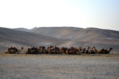 Camels in the desert Stock Photography