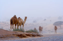 Camels on a desert highway Stock Images