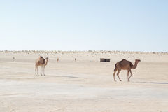 Camels in the desert. Camels in the hot desert. Dunes of sand royalty free stock photos